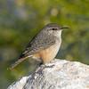 Rock Wren (Ed Sivon) Tags: america canon nature lasvegas wildlife wild western southwest desert clarkcounty clark vegas bird henderson nevada nevadadesert park