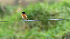 Stonechat (Distinctly Average) Tags: phillluckhurst distinctlyaverage wwwdistinctlyaveragecouk wildlife carne beach ireland wexford male stonechat bird perched wire canon handheld 7dmark2 100400ii
