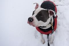 Daryl Blu (daebreyk) Tags: pitbull adoptdontshop whorescuedwho pitbullmix dontbullymybreed playersforpits