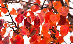 Last Leaves of the Fall (Carl Cohen_Pics) Tags: chandler arizona unitedstates leaves leaf trees fall fallcolors canon canon7dmarkii color colors autumn