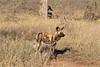 Rare (The Spirit of the World) Tags: wilddog raresighting endangered wildlife nature ngala timbavati southafrica africa savanna bush brush dry safari gamedrive ngc npc