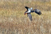 Impact! (Roy Lowry) Tags: lapwing vanellusvanellus circusaeruginosus marshharrier parkgate riverdee flightshot