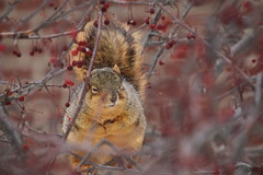 Squirrels in Ann Arbor on a Cold and Snowy Winter's Day at the University of Michigan (January 3, 2018) (cseeman) Tags: gobluesquirrels squirrels annarbor michigan animal campus universityofmichigan umsquirrels01032018 winter eating peanut januaryumsquirrel umsquirrel snowsquirrels snow snowy climber squirrelclimber