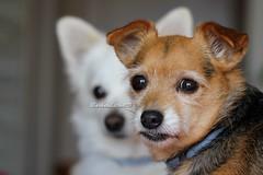 Giorgina e Bartolo [+1 inside] (CarloAlessioCozzolino) Tags: bartolo giorgina cani dogs