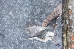 Snowy Landing (brendon_curtis) Tags: canon eos usm 500mm f4l is bird songbird nature natural snow new england flash birds garden backyard blizzard photography 5dmkiii flight avian flying hss bokeh bokehlicious