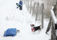 I want to go sledging too! - HFF (Jo Evans1) Tags: dog wanting go sledging snow tied up fence friday hff high key