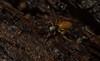 Salticidae (dustaway) Tags: arthropoda arachnida araneae araneomorphae salticidae genus jumpingspider australianspiders spideronbark tallowwood tullera northernrivers nsw nature australia