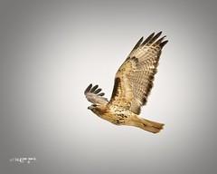 CCSTrail Red Tailed Hawk copy (wfgphoto) Tags: redtailedhawk inflight overhead wingpattern wings bird raptor