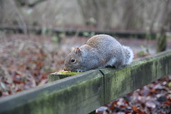 Squirrel 2 (umphotography) Tags: swans rufford park abbey nottinghamshire mansfield ollerton a614