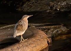 Striated-Heron (Aniyan2) Tags: butorides striata mangroveheron littleheron cattleegret heron