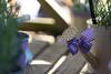 For the love of lavender (hehaden) Tags: wateringcan ribbon gingham lavender mayfieldlavenderfarm banstead surrey