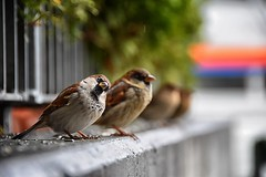 (lucamarasca1) Tags: fauna explore lifenature urban wildlife nationalgeographic laquintaessenza nikkorlens nikkor18200mm d5500 nikon animali cute animals birdwatchong nature cacciafotografica uccelli passeri bird birds spatz sperling sparrow