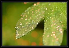 """Foliage All a-Glitter..."" (NikonShutterBug1) Tags: macro closeup nikond7100 spe smartphotoeditor tamron60mmmacro foliage leaf glitter nature"