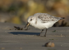 Sanderling - Calidris alba (Gary Faulkner's wildlife photography) Tags: sanderling calidrisalba