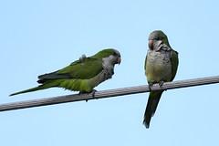 _DSC2238  Monk Parakeets - John Prince Park Lake Worth Florida USA (Nrth Grd Elementary Birder's Club) Tags: nature beauty ericaray northgradeelementary birdersclub education audubon florida aves parakeets monk