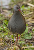WATER RAIL (_jyphotography) Tags: wildlife wildlifephotography wiltshire nature naturephotography photography pictures water rail waterrail birdphotography bird birds birdwatching birding birdingphotography birders canon canon7d canonphotography