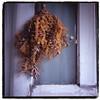 Withered flowers (seeaurora) Tags: tocolier トコリエ ハッセルブラッド フィルム ディスタゴン ベルビア フジフイルム film 6x6 colorslide gtx970 リバーサルフィルム reversalfilm