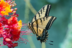 Two-tailed swallowtail (jim_mcculloch) Tags: dsc5159 butterflies lepidoptera