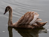 Juvenile Swan-EC210073 (tony.rummery) Tags: cygnet em10 juvenile mft microfourthirds omd olympus riverside swan guildford england unitedkingdom gb