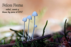 FELICES FIESTAS Y FELIZ 2018 (Cnota) Tags: felizañonuevo happy new year happynewyear setas hemimycena lactea hemimycenalactea