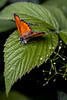Two Orange Triangles - _TNY_1950 (Calle Söderberg) Tags: macro canon canon5dmkii canonef100mmf28usmmacro canoneos5dmarkii flash meike mk300 glassdiffusor leaf insect butterfly fjäril lycaena phlaeas guldvinge mindreguldvinge copper smallcopper orange lycaenidae juvelvinge lycaeninae gold metallic furry fur hair hairy fuzz fuzzy blackedge f95