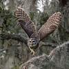 On the Move (PeterBrannon) Tags: bird birdphotography florida lakeland nature shadows strixvaria takeoff wildlife wings barredowl owl d850 nikon