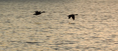 Flying through weekend (Irina1010) Tags: birds geese flying lake sunset acworth nature canon silhouettes reflections water