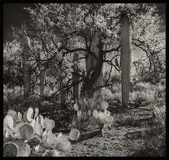 Sabino Canyon IR #10 2018; Family Group (hamsiksa) Tags: arizona tucson pimacounty desert sonorandesert bajadas santacatalinamountains sabinocanyon sabinocanyonnationalrecreationarea coronadonationalforest plants flora xerophytes succulents desertplants cacti cactus saguarocactus saguaro carnigieagigantea pricklypear opuntia infrared digitalinfrared
