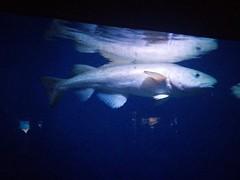 American cod #toronto #ripleysaquarium #aquarium #fish #cod #americancod #latergram (randyfmcdonald) Tags: fish ripleysaquarium latergram cod aquarium americancod toronto