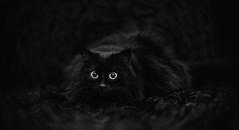 Michio (►susa◄) Tags: michio schwarz schwarze decke animals indoor cat dof deutschland dephtoffield sw blackandwhite bw q11x17