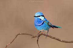 Splendid Fairy-wren (chrissteeles) Tags: splendidfairywren fairywren wren bird birding mtmary southaustralia sa