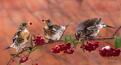fieldfare feast (jeff.white18) Tags: fieldfare thrush bird berries red winter portrait feathers flickr