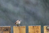 wren in the rain (After-the-Rain) Tags: rain christmasday wren troglodytestroglodytes gcgarden