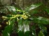 Pittosporum glabratum (Smalltown Huang) Tags: pittosporum pittosporaceae