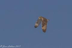 Hibou des marais Short-eared Owl _3051-2 (JeanLe2012) Tags: asioflameus hiboudesmarais shortearedowl strigidés