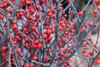 Merry Christmas (SSnapDragon) Tags: plant branch twig stem leaf flower berry berries red grey contrast ny nyc plants canon