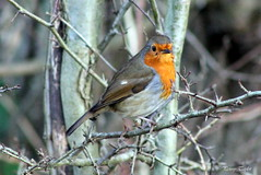 New Year Robin (alpenfrankie) Tags: canon eos 1100d wildlife animals bird nature robin reserve red winter pottericcarr potteric ywt season