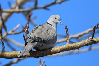 Tyrkjadúfa - Collared Dove - Streptopelia decaocto