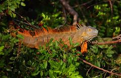Green Iguana (Adult Male) (ashockenberry) Tags: lizard orange green iguana florida