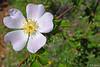 Eglantine (jean-daniel david) Tags: fleur églantine eglantier blanc jaune closeup nature vert verdure feuille