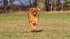 Winter run (NeilSkinner01) Tags: running dog labrador fetch ball