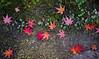 Fallen to the ground (DanÅke Carlsson) Tags: japan japanese momiji maple leaves autumn fall ground moss red orange purple last