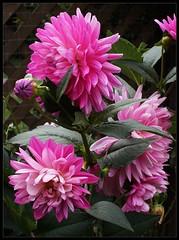 Dahlia (Hollyhill Big Pink) (radspix) Tags: sony alpha a7r 50mm autoyashinon dx f2