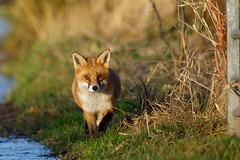 Fox (RSPB Greylake) #1 of 4 (Steve Balcombe) Tags: mammal red fox vulpes vulpesvulpes rspb greylake somerset levels uk
