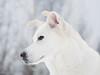 Tito (Anja Schruba) Tags: husky huskymix snow winter schnee