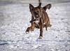 Flying Bruno (piano62) Tags: dogs dogrescue anticrueltychicago unconditionallove friendship companion play crazy nikond750 tamron150600mm