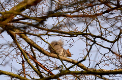 - here you can not get me, you bloody dog! (Caulker) Tags: canonspark squirrel tree winter