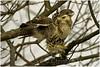 red-tailed hawk (Christian Hunold) Tags: redtailedhawk buteojamaicensis immatureredtail hawk raptor birdofprey rotschwanzbussard valleyforge pennsylvania christianhunold