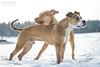 2017-12-18 (1) (annamarias.) Tags: winter wonderland snow sun beautiful dog pet american pit bull terrier pitbull staffordshire strong muscular fun blast happy