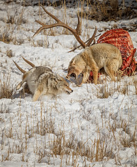 NOT SHARING (Sandy Hill :-)) Tags: comes feedingcoyotes coyotesfighting coyotefight elkcarcas nature wildlife winter yellowstonenationalpark yellowstoneinwinter snow death action sandyhillphotography